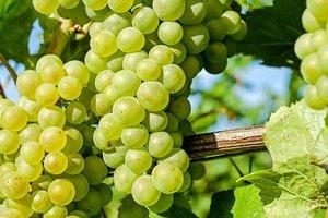 Виноград: польза для здоровья и правила выбора