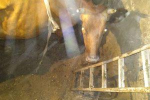 В Запорожской области для спасения коровы привлекли автокран: опубликованы фото