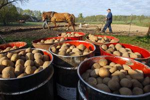 """Проблемы """"второго хлеба"""": почему украинскую картошку не покупают за границей и какой будет цена"""
