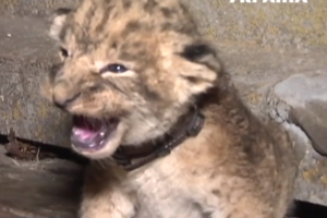 В Хмельницком зоопарке родились четверо львят