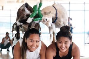 Два козла стали звездами шоу-бизнеса в США