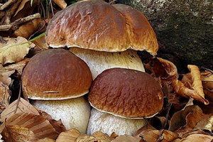 Отравление грибами во Львовской области: отец и два сына попали в реанимацию