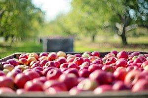 Украинские яблоки появятся в Индии