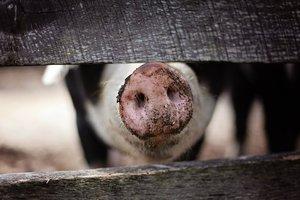 У Украины есть все шансы стать мировыми лидером по производству свинины - эксперты