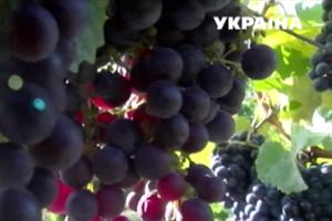 На Закарпатье Олег Скрипка изготавливает авторское вино