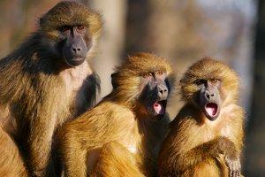 Водителя автобуса уволили за то, что вместо него на смену вышла обезьяна