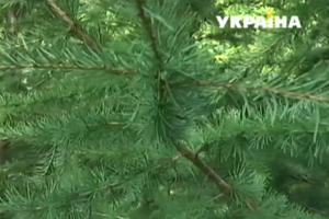 В Украине массово усыхают леса: как спасти деревья