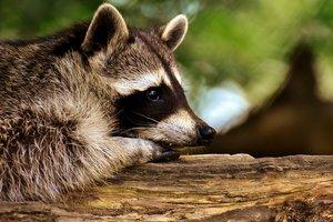 Чей енот: в Киеве ищут хозяина экзотического животного