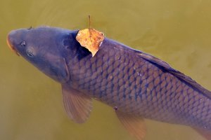 У київське озеро випустили п'ять тонн риби