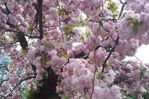 В Японии неожиданно зацвела сакура