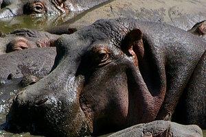 В Африке хотят законно уничтожить тысячи бегемотов