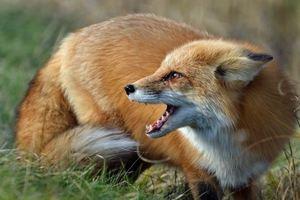 В Запорожской области бешеная лиса покусала домашних животных