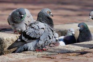 В Ровно массово гибнут голуби