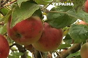 Рекордный урожай яблок в Украине ударил по ценам: фермеры терпят убытки