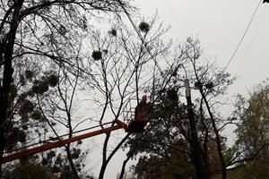В Киеве коммунальщики спасают деревья от омелы