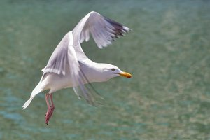 В Тернополе массово гибнут серебристые чайки