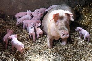 Украина стремительно теряет экспорт свинины