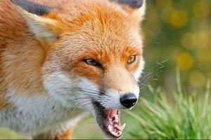 """В Полтавской области лисы устроили """"охоту"""" на людей"""