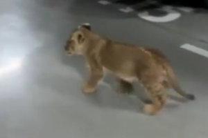 На улицах Одессы заметили одинокого львенка: опубликовано видео