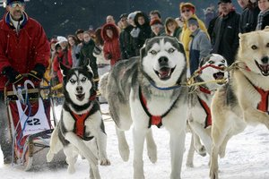 Собачьи упряжки приравняли к автомобилям в Дании