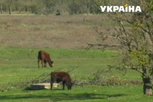 Коровья дорога разделила село в Запорожской области на два лагеря