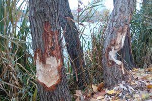 Бобры устроили лесоповал на Позняках
