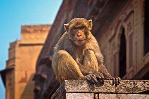 В Индии обезьяна украла и убила двухнедельного малыша