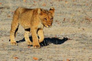 Хищные котики: Мариупольский зоопарк пополнился львятами и уссурийскими тигрятами
