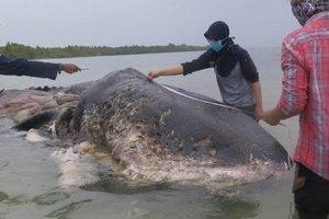 В Индонезии обнаружили умершего от пластика кита
