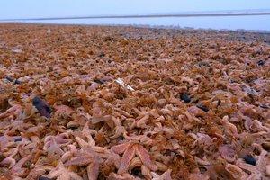 Невероятные фото: шторм выбросил на берег тысячи морских звезд