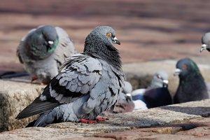 Раненый голубь постучался в двери ветеринарной клиники, чтобы спастись