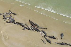 30 черных дельфинов и горбатый кит выбросились на берег Австралии