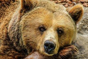 На севере Канады медведь растерзал женщину и младенца