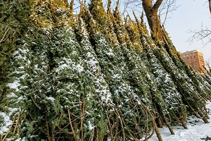 Новый год-2019: в Запорожье рассказали о ценах на елки