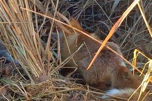 Лисенка спасли от рук браконьеров в Киевской области