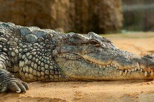 Пойман крокодил-людоед невероятных размеров: появилось фото