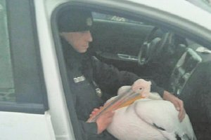 В Харькове целую неделю не могли словить пеликана