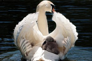 В Винницкой области на реке поселилась стая лебедей