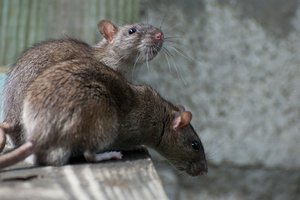 Миру грозит крысиный апокалипсис - ученые