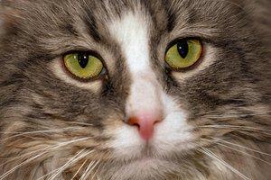 Стало известно, что случилось с ожирелым котом Путина по кличке Мир