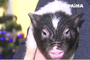 В преддверии Нового года украинцы скупают живых свиней