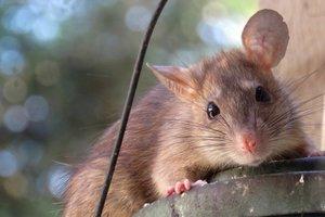 Киевлянку укусила крыса, зараженная бешенством