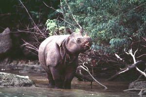 Редким носорогам грозит вымирание из-за цунами в Индонезии