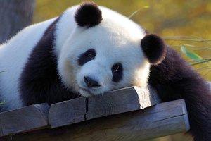 Медведи подрались за право сидеть на дереве: курьезное видео