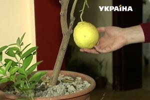 """Грибы на подоконнике и лимон в гостиной: украинцы увлеклись выращиванием """"экзотики"""""""
