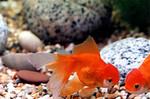К популярным аквариумным рыбкам относятся следующие: золотая рыбка, данио, ансциструс
