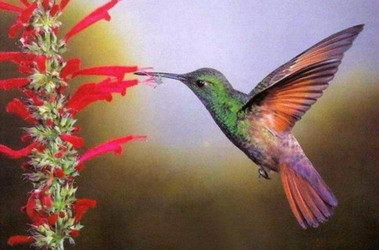 Ученые выяснили как пьют колибри фото