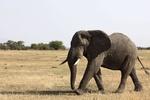 Индийских слонов посадят на строгую диету