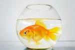 В Китае устроили конкурс красоты среди золотых рыбок