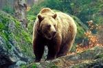 В Карпатах раненый медведь убил мужчину